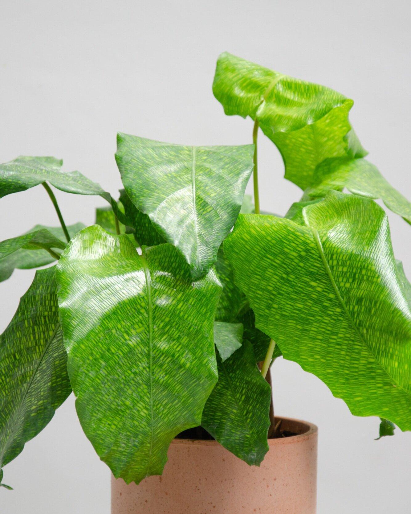 Calathea musaica - Calathea 'Network' — IN-TRAY PLANTS