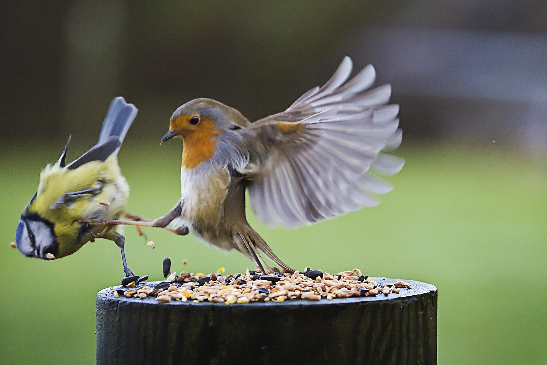 Birds fighting.jpg