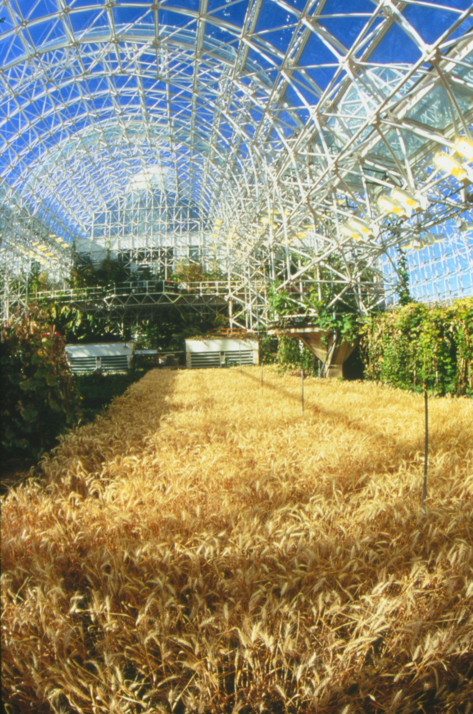 Fields of wheat in the Biosphere 2