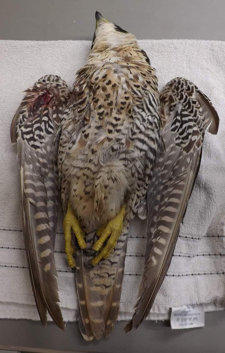 The dead peregrine falcon, which was shot near Northleach last month. The Gloucestershire Police Rural Crime team say it was a 'despicable' act.