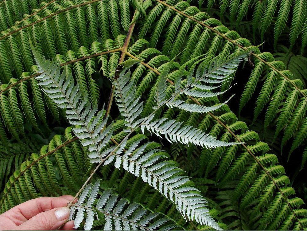 Silver leaf ferns (pteridophytes).   Image Source