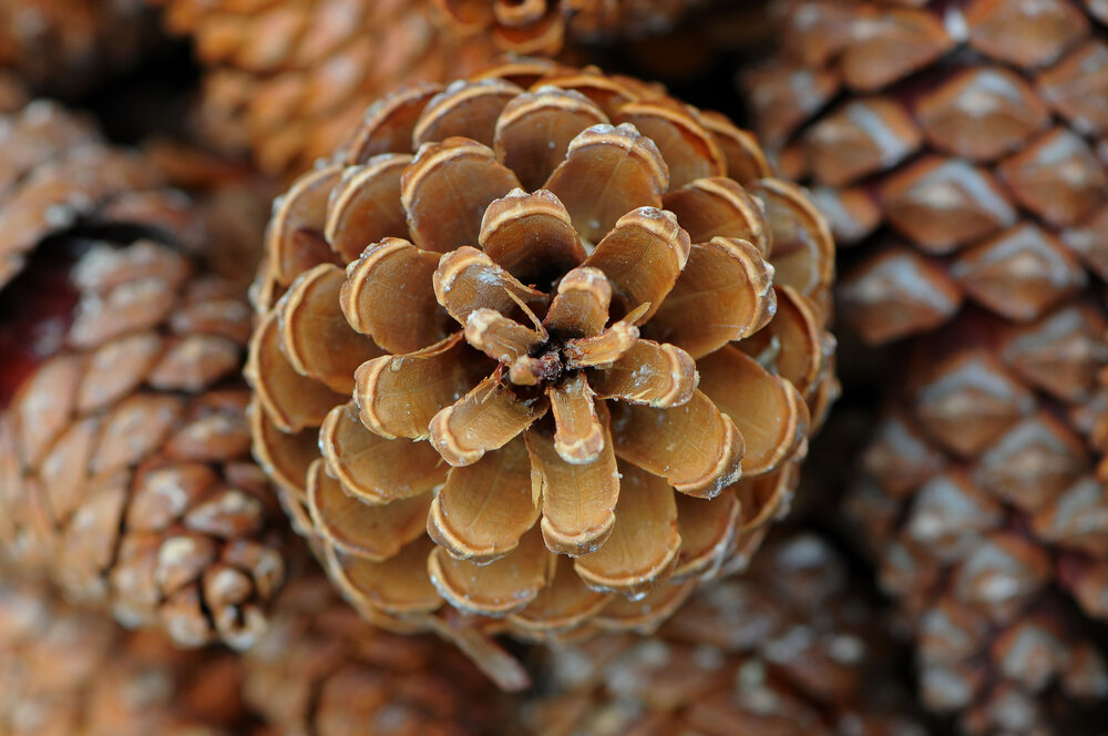 Pine cones from a gymno.    Image souce