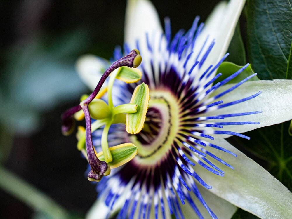 The variety and complexity of flowers that angiosperms have evolved is astounding. Here is a passionfruit flower, taken by Plants Grow Here.