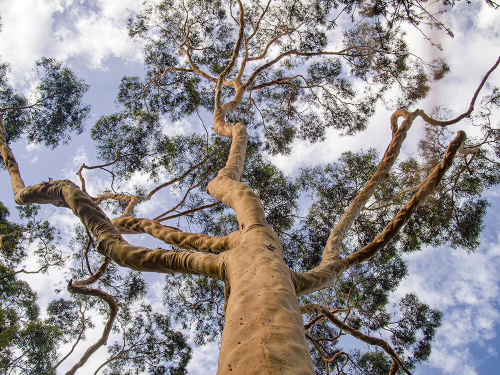 Tall trees like this eucalypt are possible due to the evolution of vascular systems. Photo via Plants Grow Here.   The evolution of a vascular system was needed for trees to be able to grow without physically touching water by transporting and storing it within the organism. In fact, it is said that a tree might only be limited in terms of how high it can grow by how far it is able to push the liquid up its veins.  Not all plants use these vein-like highways (bryophytes like moss do not), but almost every plant in your garden does have a vascular stem including ferns, cone-bearers and flowering plants. There are two types of veins that these plants use:  Xylem tissues are responsible for moving water and minerals from the roots to the rest of the plant. -They transport water in a unilateral system; that is water only travels up from the roots to the leaves and does not descend again. -When they mature, the cells will die inside the tubes which will become hollow connecting tunnels, hence xylem can be a non-living tissue. -They occupy the centre of the vascular bundle.  Phloem tissues are responsible for moving food and nutrients around the plant. -They transport water and nutrients in the form of sap in a bilateral system that moves up and down from leaves to the roots and back. -They are made up of living tissue. -They surround the xylem in the vascular bundle.