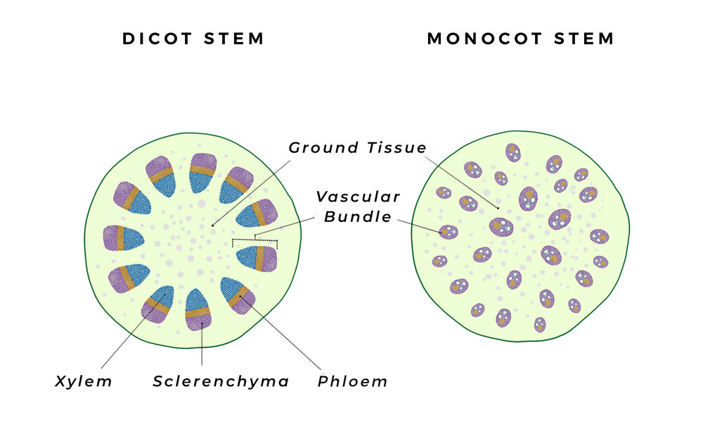 Dicot vascular bundles of xylem and phloem are arranged in a ring, whereas monocot bundles are sporadic. Diagram via Plants Grow Here.   The organisation of the vascular bundle can differ in plants, but there are some main similarities. Dicots have one vascular bundle (with phloem surrounding xylem) in each branch and stem, causing tree rings as they grow which may be seen when the branch is cut. Monocots have multiple vascular bundles growing up the stem, which is why palm trees don't have tree rings.  Generally, monocot roots just have a single ring of xylem surrounded by phloem (like dicots), unlike their stems that have bundles haphazardly situated throughout.