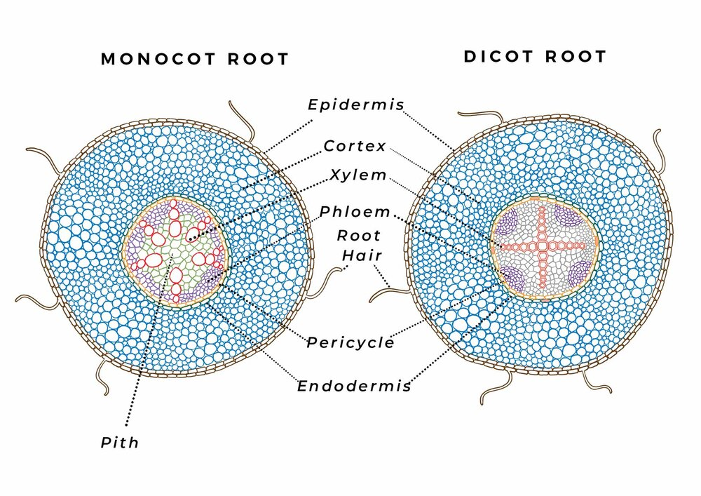 """Monocot and dicot root vascular systems are more similar than their stems. Diagram via Plants Grow Here.   All vascular plants grow out longer, but not all can grow thicker. Some plants in the dicot and gymnosperm groups grow new cells laterally in order to grow wider, which allow for greater support and a greater volume of nutrients and water to be moved for tall trees and shrubs.  This """"secondary growth"""" is done with a """"cambium"""", which is a thin layer of stem cells (meristematic tissue*) that divide to create new cells that runs the whole length of the stem. The main cambium that plants with secondary growth have is the vascular cambium, which sits between the xylem and phloem and grows new cells inwardly and outwardly, eventually so that the immature vascular bundles meet and become rings.  Some secondary-growth-producing plants (not all) have an additional cork cambium, which is a meristematic ring of cells around the outside of the phloem and create epidermal tissue, like cork and bark. Some other plants have a unifacial cambium, which create only xylem cells on the inside of the phloem ring."""