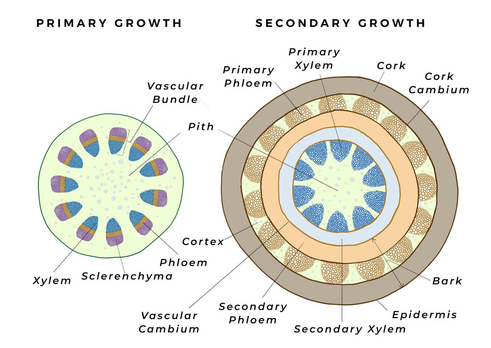 """Dicots start out with many bundles separated in a ring formation, then as secondary growth occurs the secondary xylem and phloem meet and form complete rings. Diagram via Plants Grow Here.   Rarely, """"anomalous secondary growth"""", which differ from the usual ways of performing secondary growth can occur. Palms are one such example, which don't have a cambium but can still thicken up to a limited extent to give support for their frond crowns.  Knowing about vascular systems is important to how we approach plants. Every time we cut a plant, we leave the veins open to pathogens that can take advantage and enter the plant's internal systems.  We must avoid strangling or """"girdling*"""" our plants with secondary growth by leaving rope or wire around the trunk, or allowing the roots to encircle the trunk, to ensure that our plants can use the highways they're creating."""