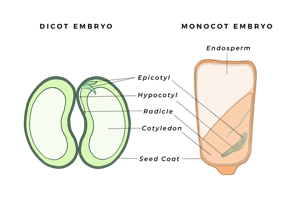 Different embryos between a dicot bean and a monocot grain. The main elements can look vastly different between species. Diagram via Plants Grow Here.