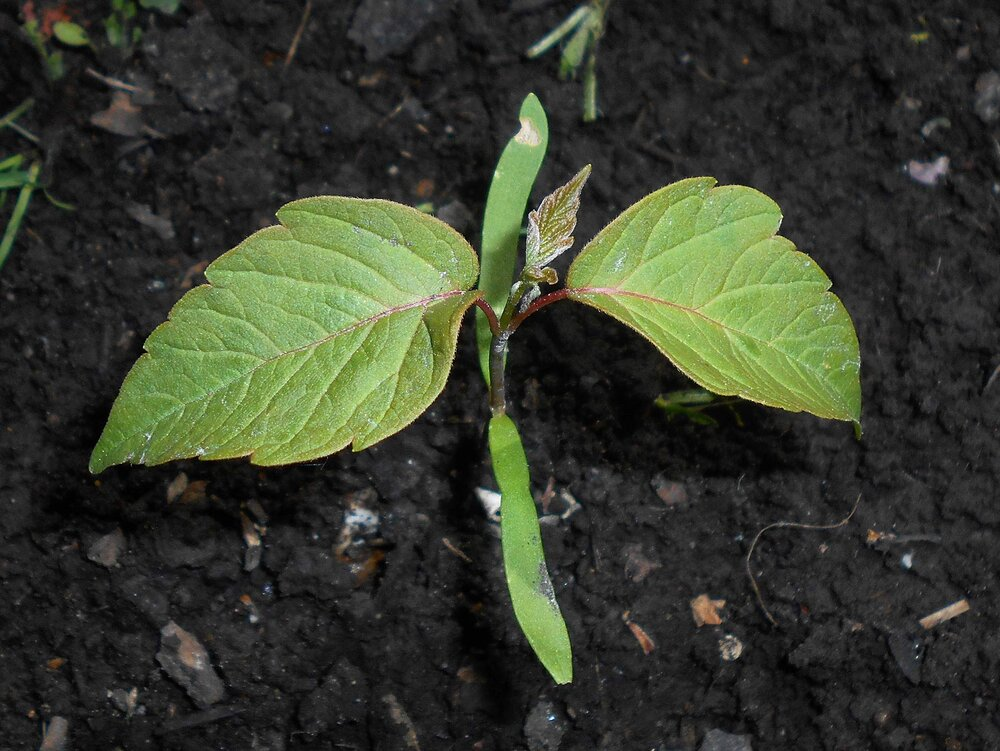 See the difference between the cotyledons and the true leaves on this Acer Negundo maple sapling.  Image source