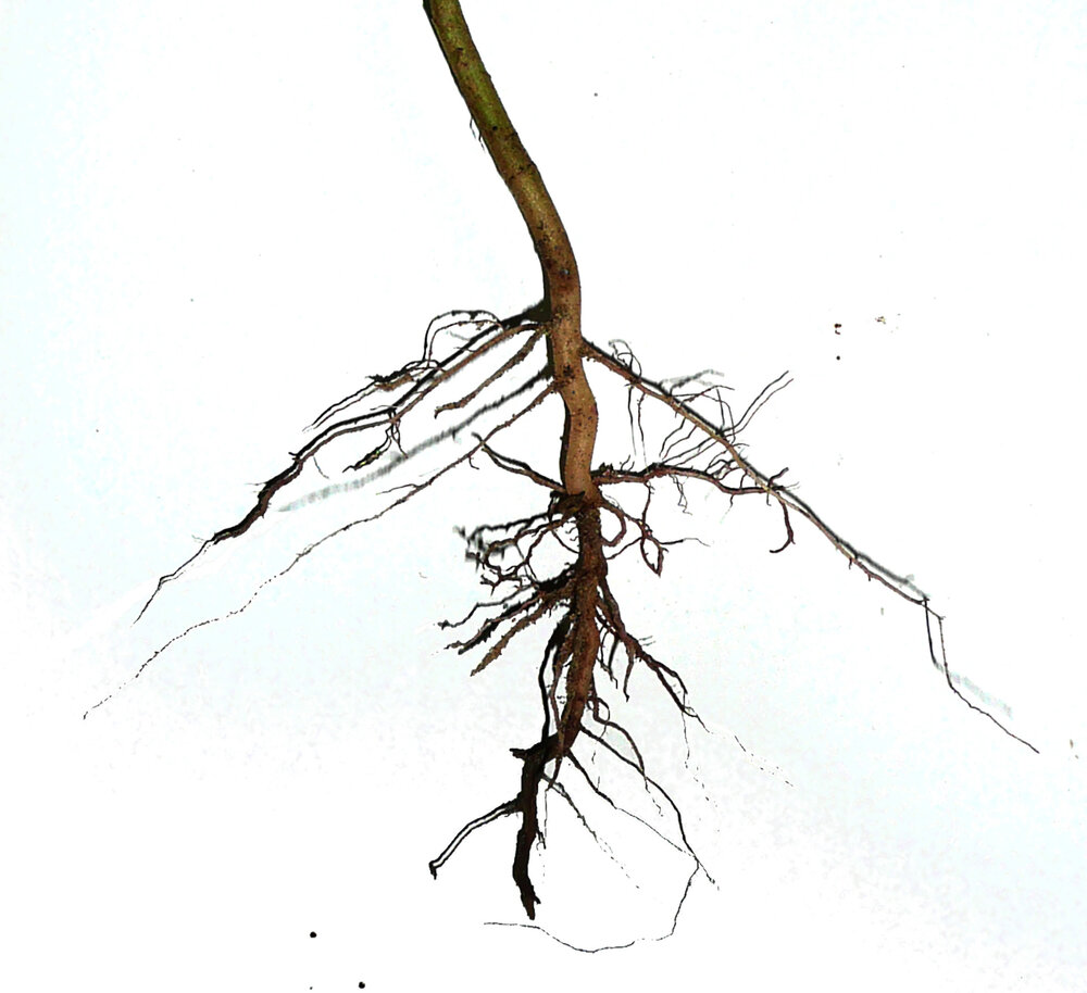 This is a tap root that has lateral roots.   Image source