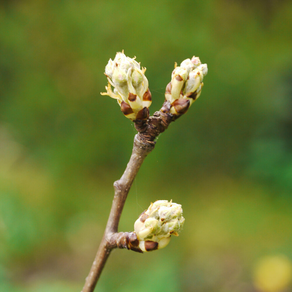 These are pear buds waking up for spring after a cold, sleepy winter.    Image source
