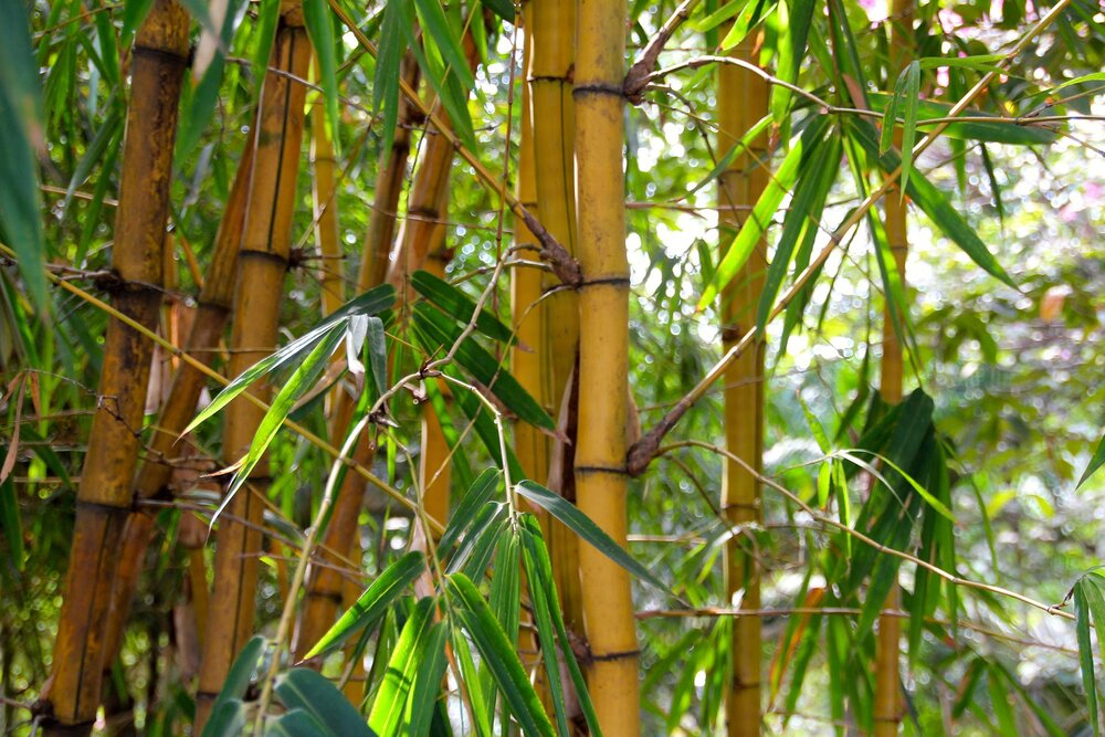Bamboo canes with shoots emerging from the nodes.    Image source