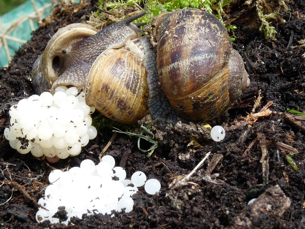 Two snails reproducing on the soil with eggs.  Image source