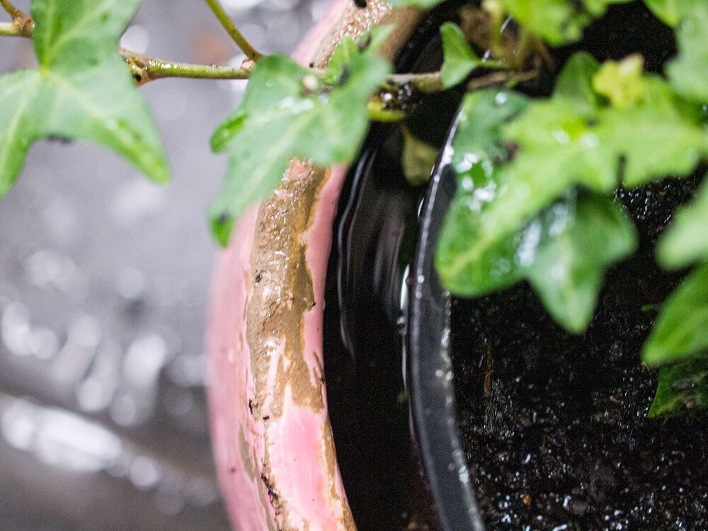 """This ivy plant is in a pot inside a pot. It's also currently being watered """"from the bottom""""; after the bubbles stop rising from the soil, the water is tipped out and allowed to drain. Photo via Plants Grow Here."""