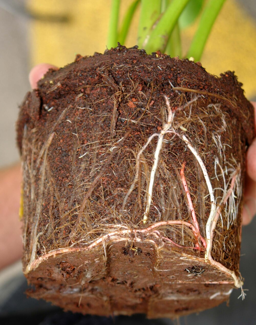 Root rot can clearly be seen here: notice the rotten brown roots compared to the vigorous living white roots.    Image source