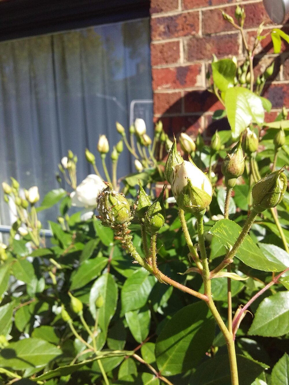 Rosebuds infested with aphid insect pests. Photo via Plants Grow Here