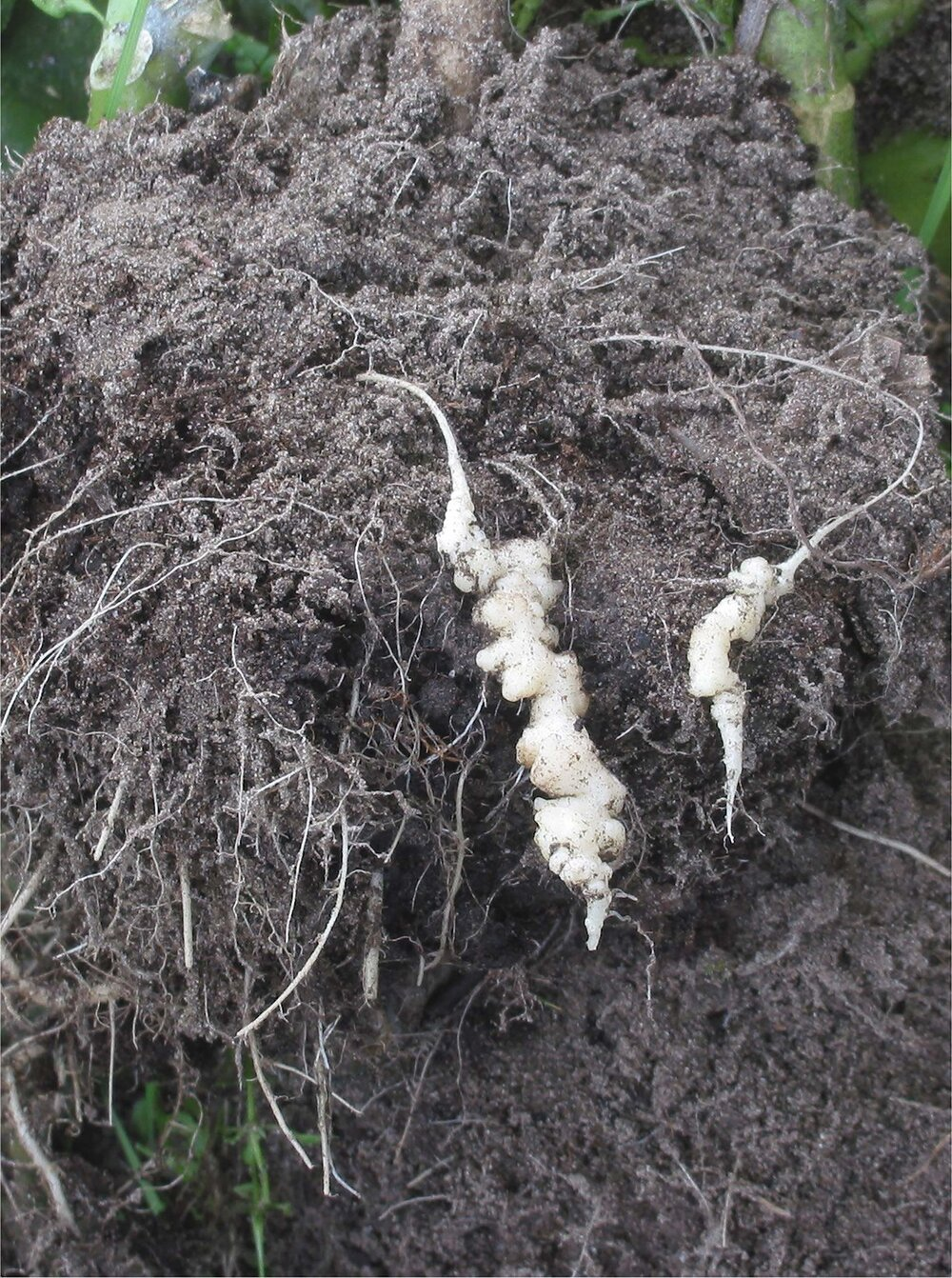 See the swollen roots that look different from the normal fibrous roots on this cauliflower afflicted with clubroot.    Image source