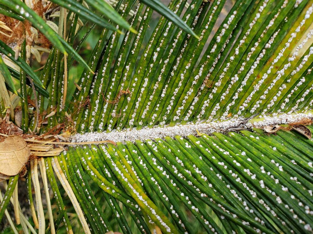 Serious scale infestation on a cycad with loads of honeydew.    Image source