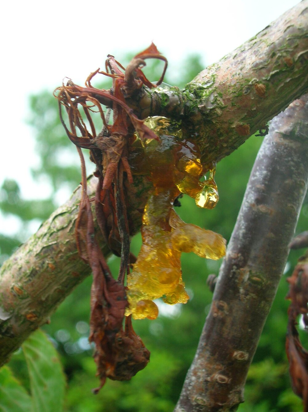 Bacterial canker on a cherry causing gummosis, the secretion of a gummy substance. Yum.    Image source