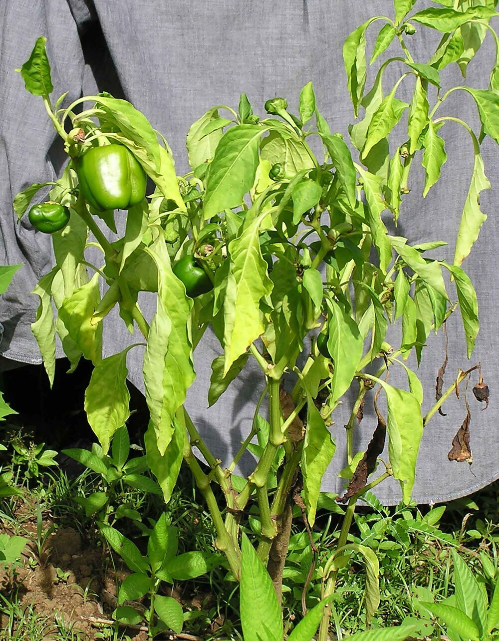 Bacterial wilt and discolouration (chlorosis) on capsicums. Easily mistaken for water issues, lack of nutrients or glyphosate spraying.    Image source