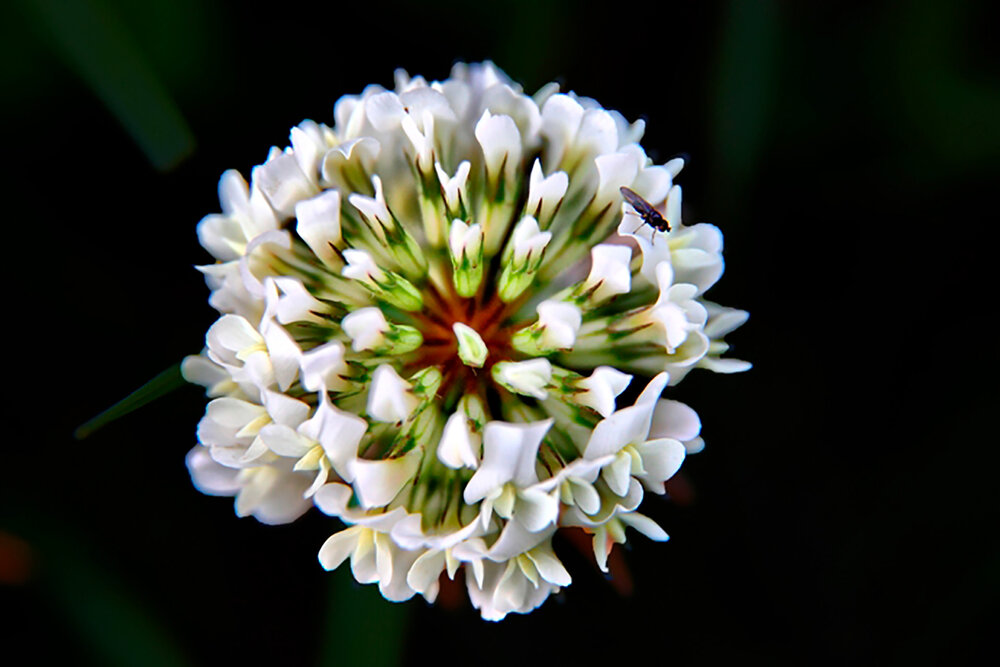 Look at the intricate little clover inflorescence made up of individual pea flowers.   Image source