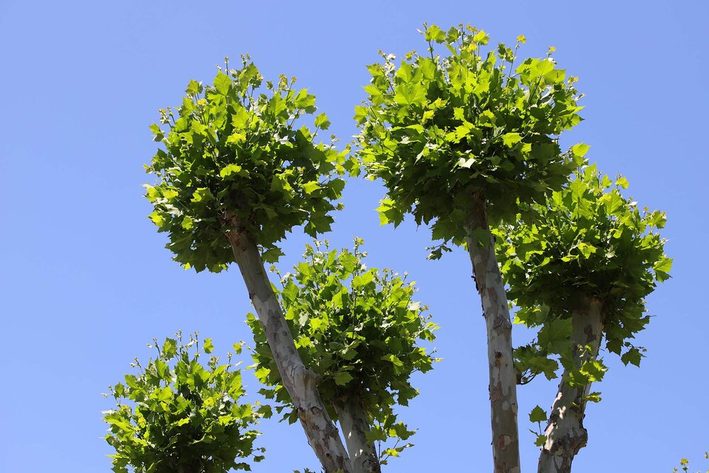 See how these plane tree branches are pruned to look like lollipops without any foliage between the tips and the roots. This is called lions tailing and is a recipe for water sprouts and an unhappy tree.    Image source