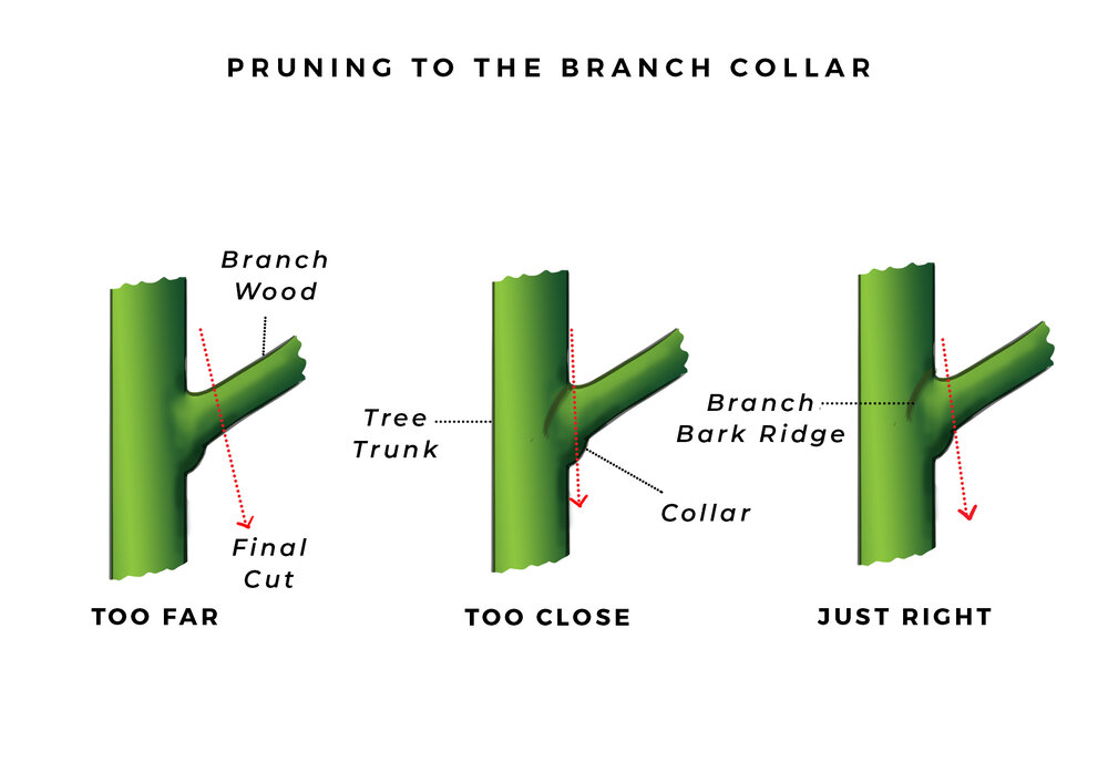 A stub cut is too far, a flush cut is too close, and a collar cut is just right. Diagram via Plants Grow Here.