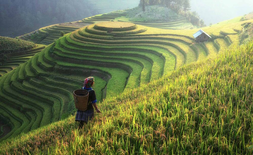 Rice is a type of grass, and here it is being farmed by human beings.    Image source