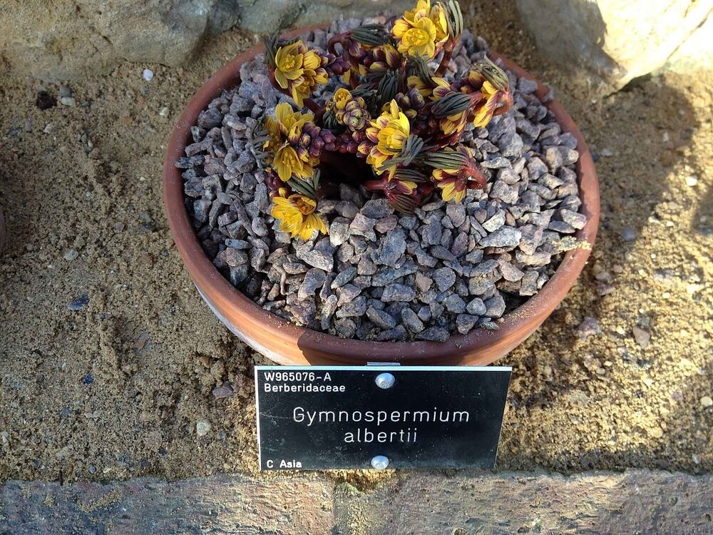 Here we have a  Gymnospermium albertii  with a plant label.    Image source