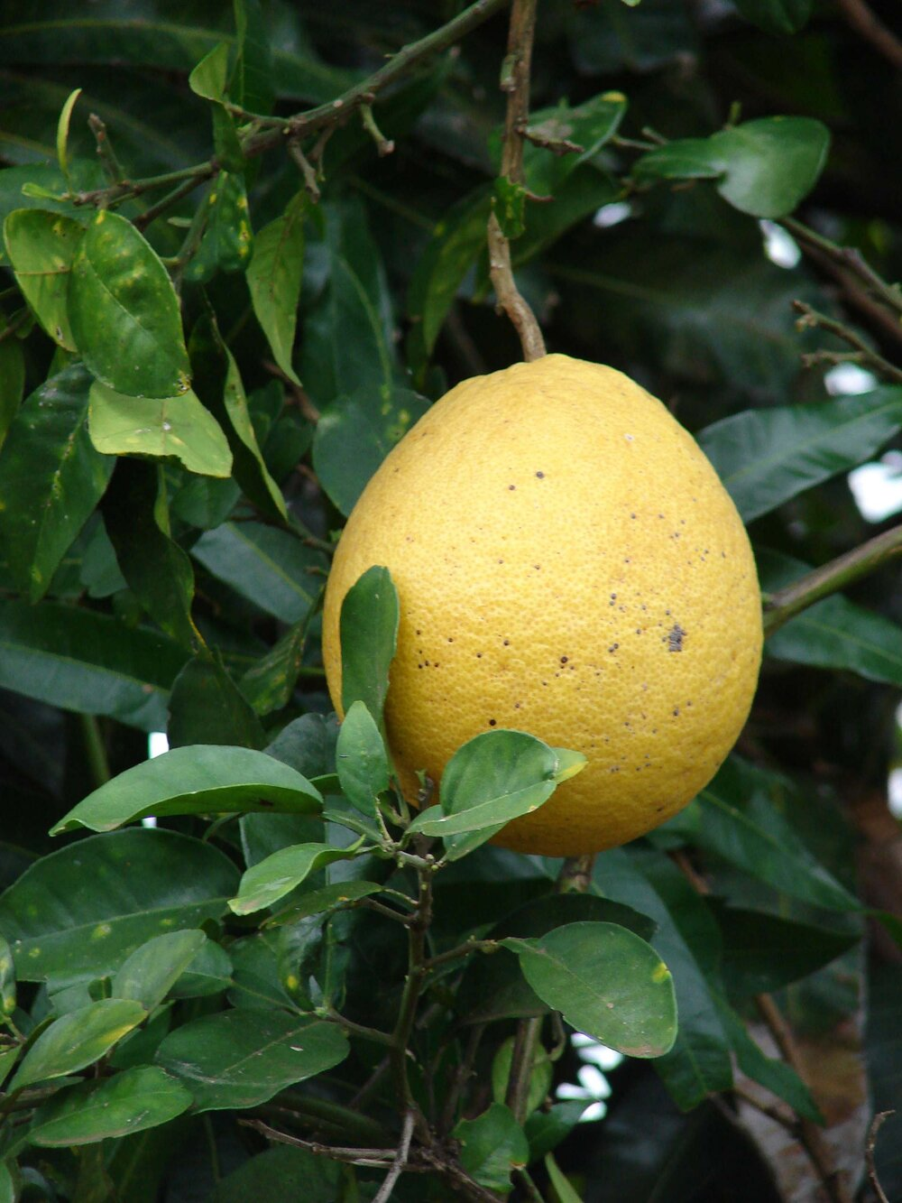 Citrus maxima  hanging on the branch.    Image source