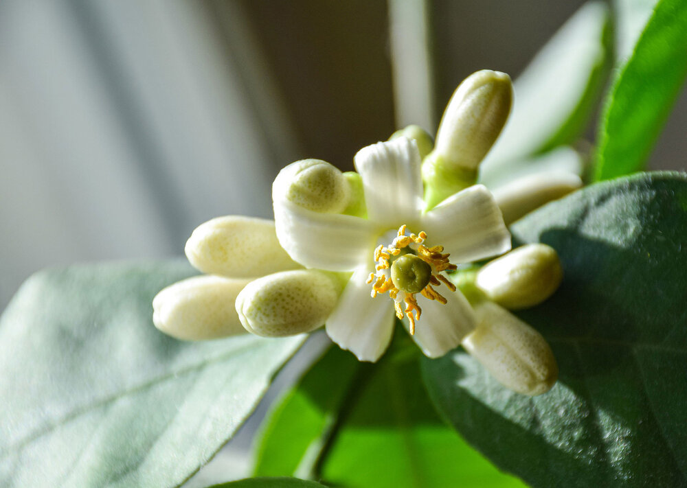 Lemon  Citrus Limon  flowers, one of which is open showing the reproductive parts.    Image source