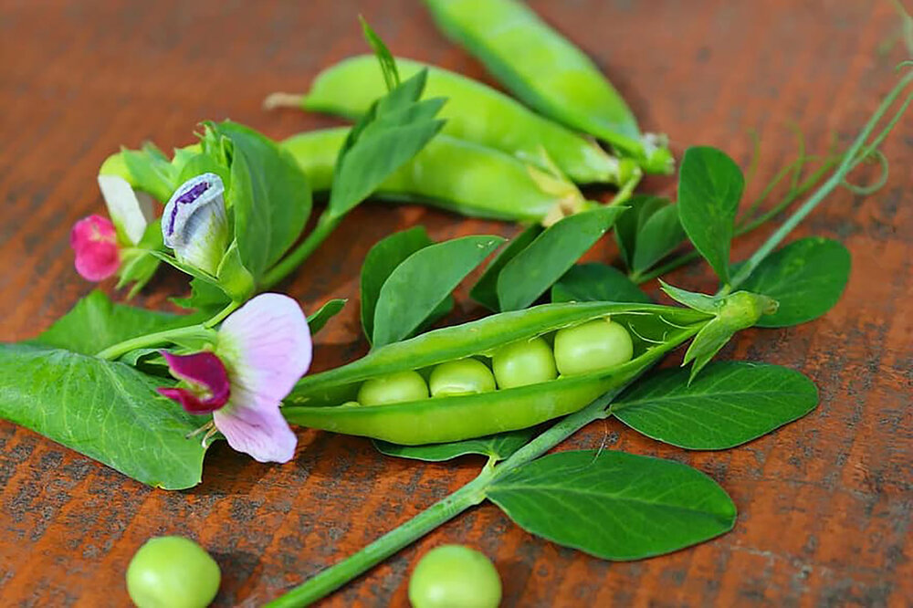 Green pea pod and flowers,  Pisum sativum .    Image source