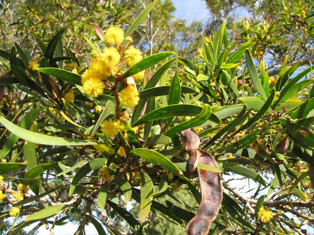 Wattle flowers, leaves and seed pod,  Acacia confusa.     Image source