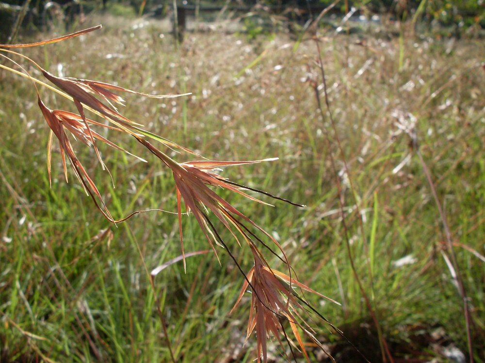 Kangaroo grass (in this case  Themeda australis ) with its distinctive flower spikelets.    Image source