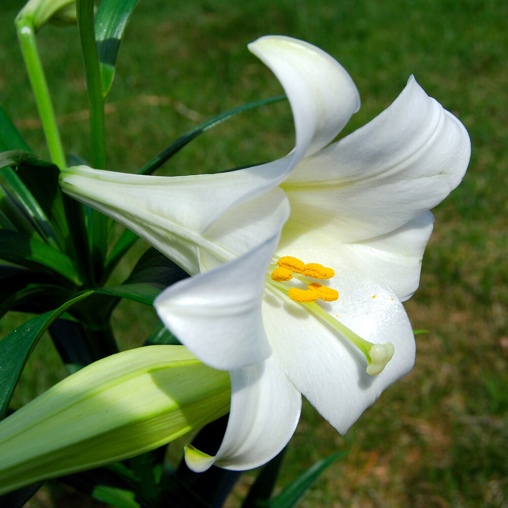 An easter lily  Lilium longiflorum  with its signature trumpet shape.    Image source