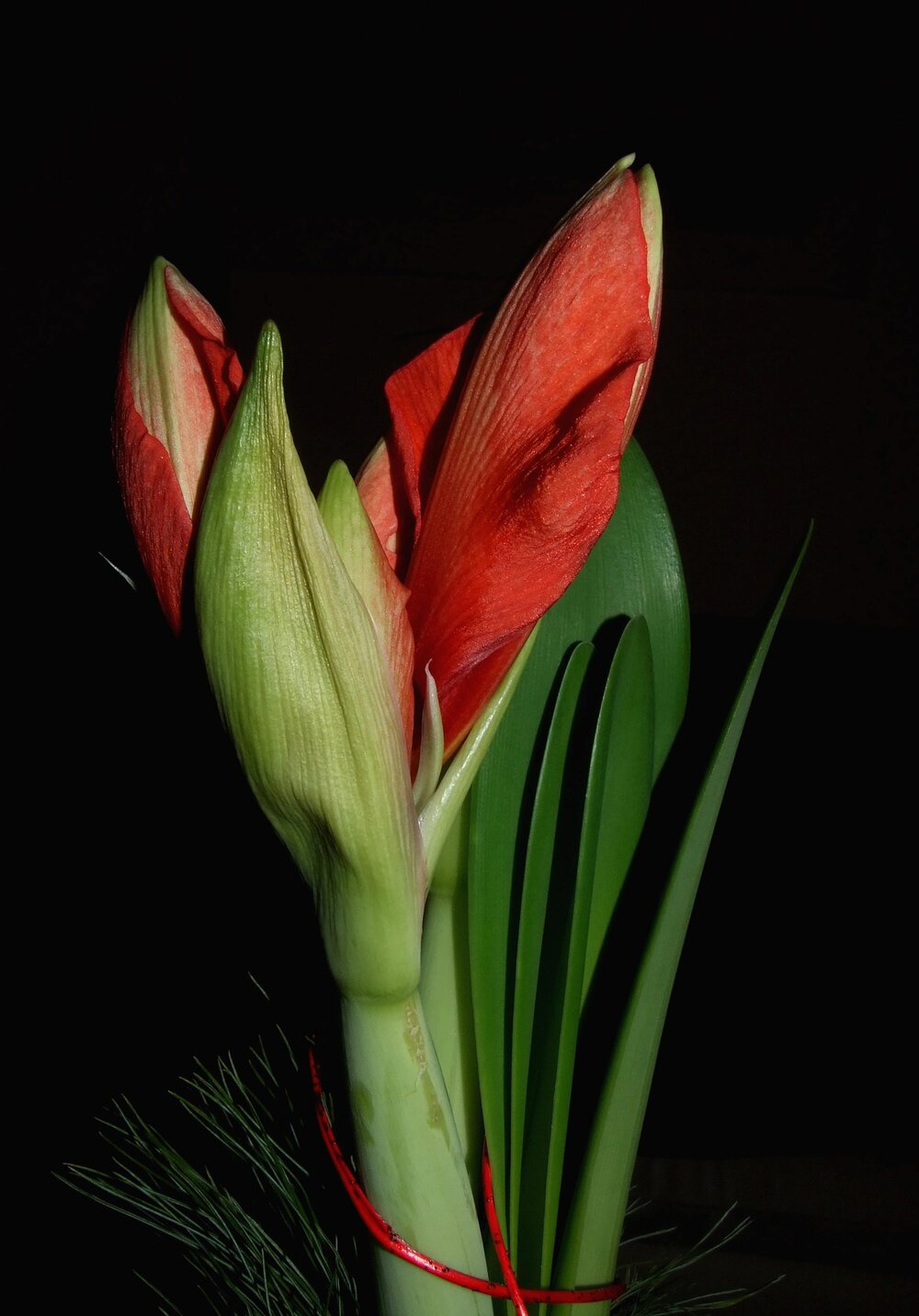 An  Amaryllis hippeastrum  inflorescence opening, enclosed within a bract, which is a modified leaf.    Image source