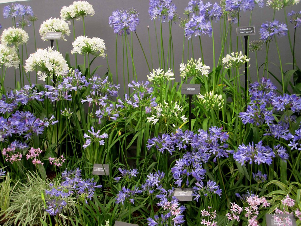 Several  Agapanthus spp.  At the Chelsea Flower Show.    Image source