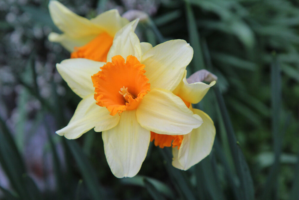 A  Narcissus  species with its additional inner whorl of petals.    Image source