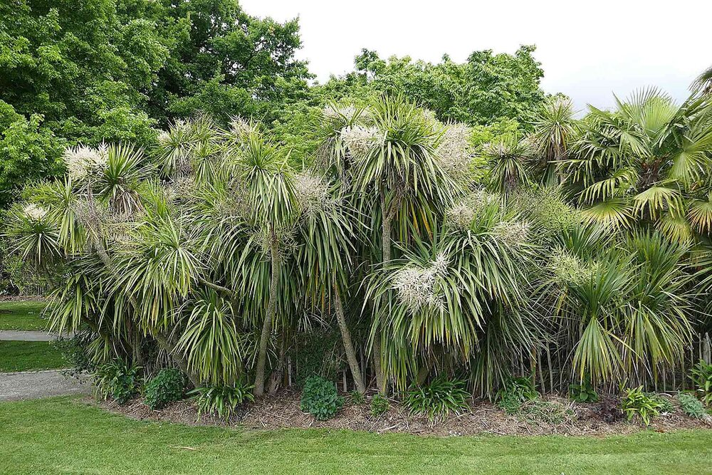 Aussie native  Cordyline australis  can look quite similar to a yucca. One way to tell them apart is that cordylines tend to have floppier leaves, whereas yuccas have stiff leaves.    Image source