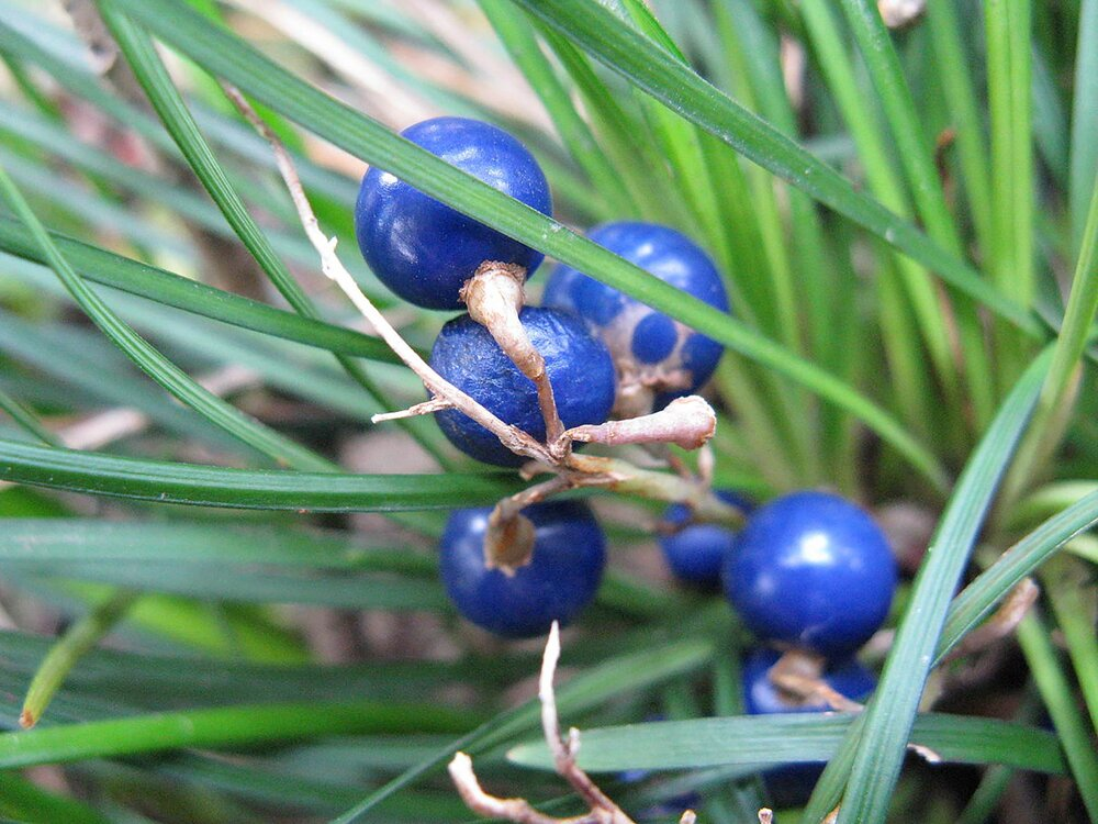 A mondo grass  Ophiopogon japonicus  with fruits.  Image source