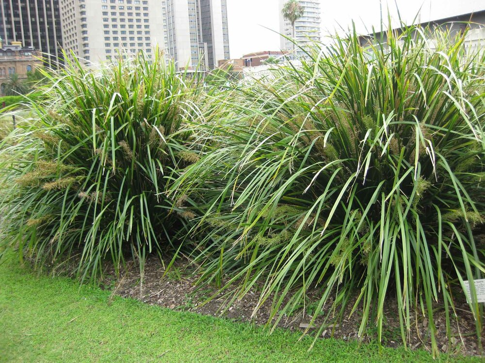 Lomandra hystrix, one of the most common varieties around. Notice the floppy leaves.  Image source