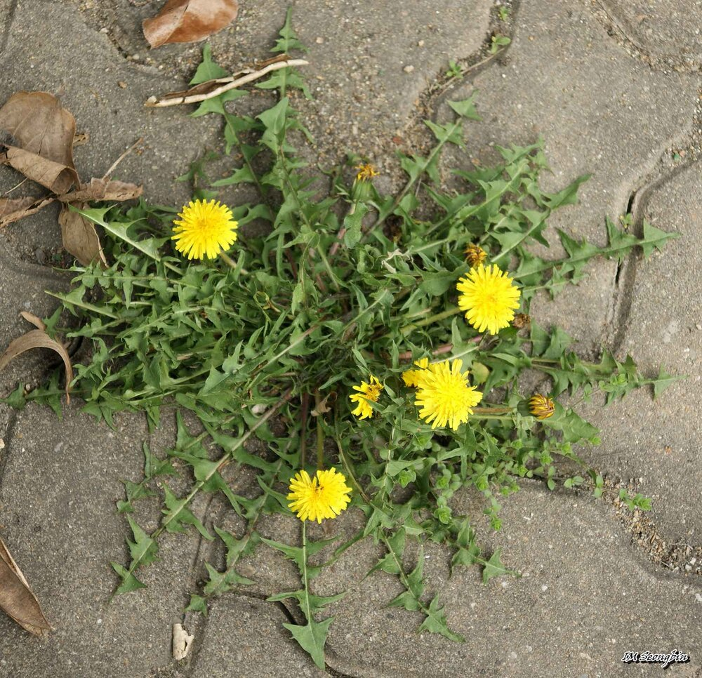 A dandelion  Taraxacum sp.  with compound flowers and rosette dentate leaves., growing in the pavement with a taproot.    Image source