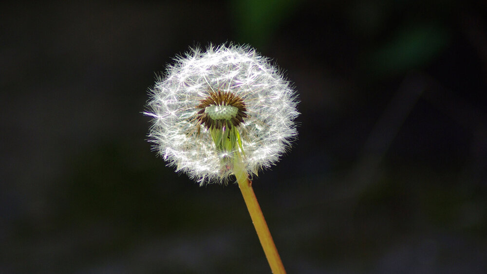 Dandelion  Taraxacum sp.  seed head showing achenes and withering bracts. Each achene (fruit) is a successfully pollinated tiny individual flower, and the parachute is the fused sepals.    Image source