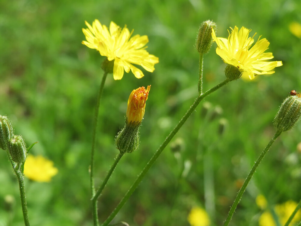 False dandelions like cat's ear  Hypochoeris radicata  have very similar flowers to dandelions, as well as having a rosette of leaves, however are not true dandelions.    Image source