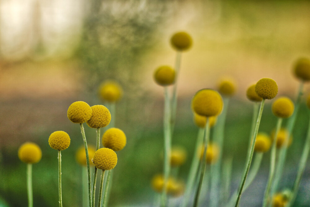 Billy buttons  Craspedia sp.  standing on their stalks.    Image source