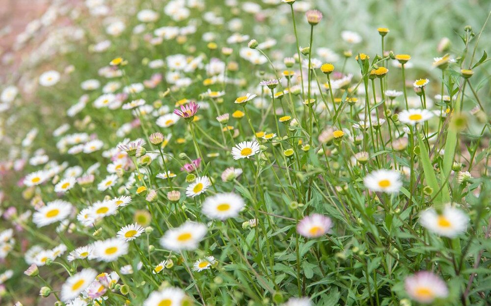 Seaside daisies  Erigeron glaucus  are not true daisies in the  Bellis  genus but are called daisies regardless. Image via Plants Grow Here.