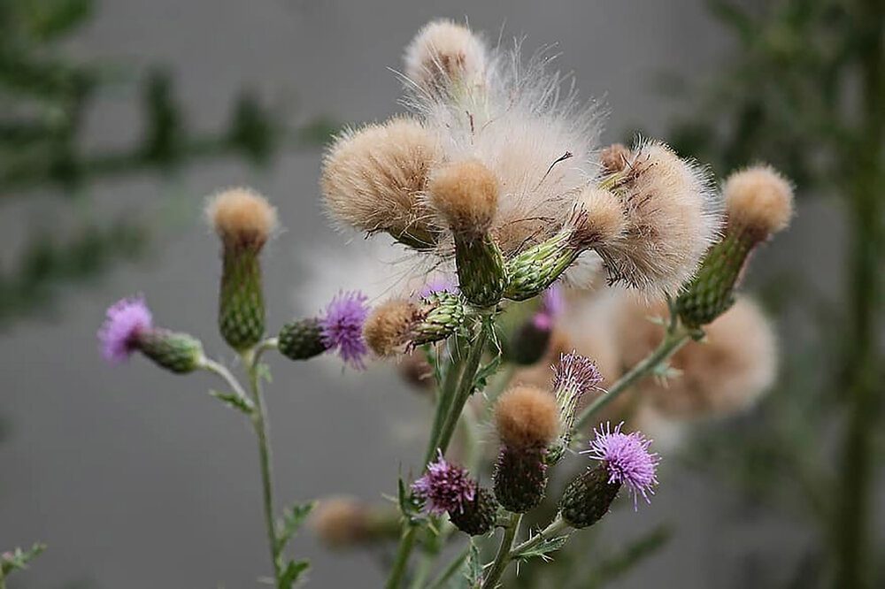 Cirsium arvense , a type of thistle.    Image source
