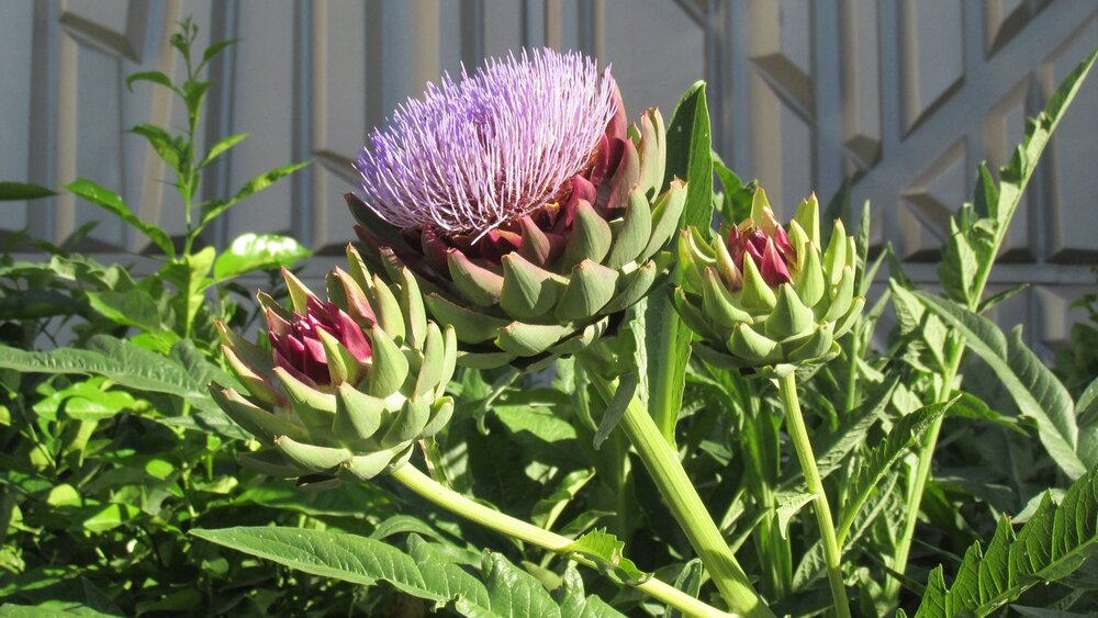 Artichokes  Cynara scolymus  in flower, a type of thistle and member of the aster family. Notice the bracts encapsulating the flower head.    Image source