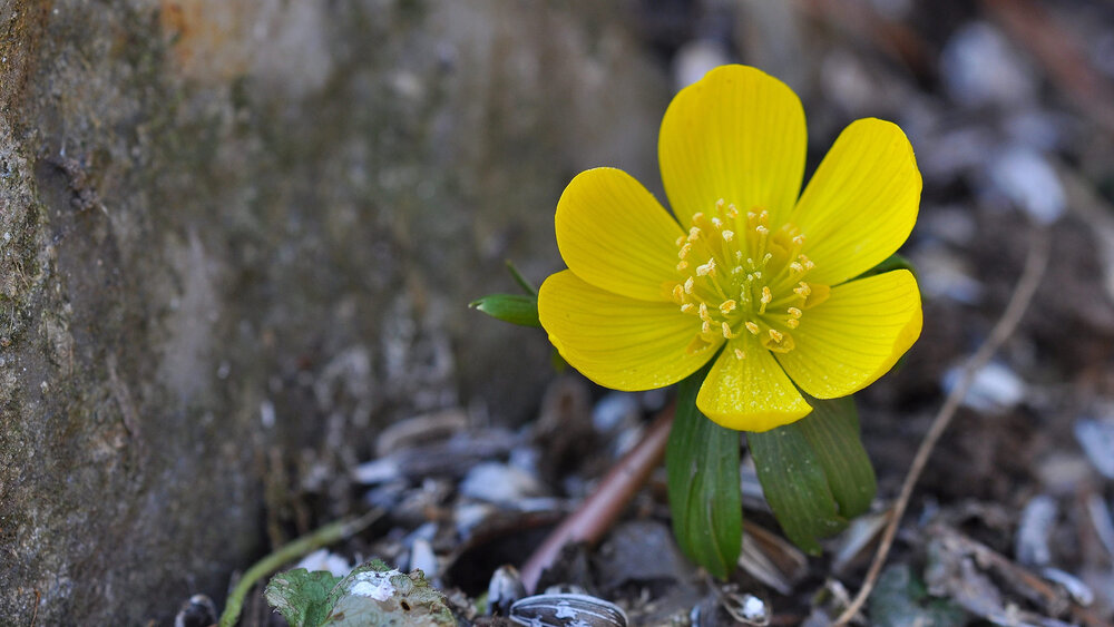 Potentilla indica  Indian or false strawberry, looking a lot like a buttercup.    Image source