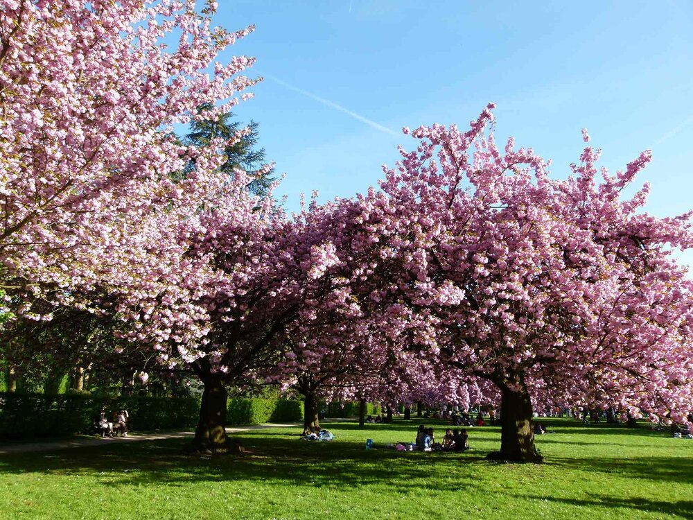 Cherry blossoms  Prunus sp . in spring.    Image source